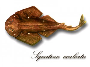 SquatinaAculeata