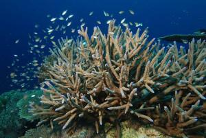 corail corne cerf
