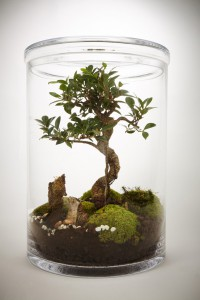 terrarium Bonsai